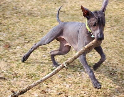 Action shot - The front right side of a hairless black Xoloitzcuintli puppy that is running across grass with a large stick in its mouth.