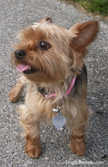 A brown and black Yorkshire Terrier is standign across a blacktop surface, its mouth is open and tongue is sticking out. It is looking up and to the left. It has large perk ears, wide round brown eyes, a thin muzzle and a big black nose.