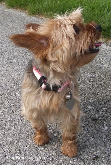 The brown and black Yorkshire Terrier is standing across a blacktop surface. It is panting and looking up and to the right. Its large perk ears are pinned back.