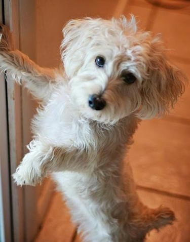 A white wavy coated Afghan Chon dog leaning against a refrigerator with one paw on it and it is looking forward. It has black eyes and a black nose with wavy coated ears that hang down to the sides
