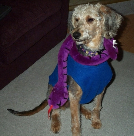 Airedoodle dog with a stuffed purple plush snake around its neck. The dog has a long snout and long legs.