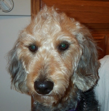 Close up head shot - Airedoodle sitting with a dishwasher behind it. It has longer hair on the top of its head that looks like a mohawk.