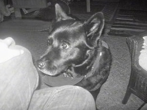 A black and white photo of an Akita Chow with a bandana sitting on a carpet in front of a persons legs.