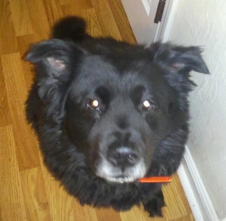 Close up - A black Akita Chow sitting on a hardwood floor. The dog has ears that fold out to the sides that are set wide apart.