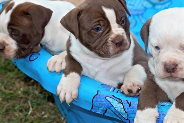 A litter of Alapaha Blue Blood Bulldog Puppies in a plastic tub