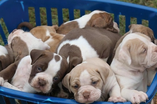 A litter of Alapaha Blue Blood Bulldog puppies in a basket