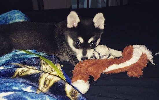 The right side of a black with white Alaskan Klee Kai puppy that is laying across a bed with a dog toy in front of it.