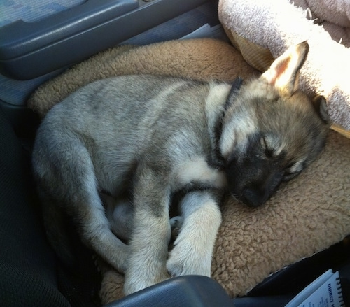 A black with tan and white Alusky/German Shepherd mix puppy is sleeping on a dog bed in a vehicle.
