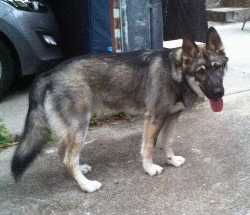 Side view - A black with tan and white Alusky/German Shepherd mix is standing in a driveway panting. It looks like a wolf.
