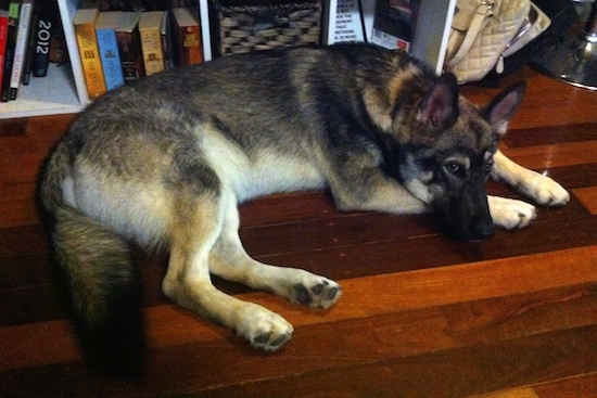 Side view - A black with tan and white Alusky/German Shepherd mix dog is laying down on a red cherry hardwood floor in front of a bookcase.