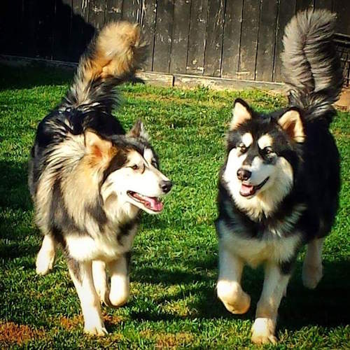 Two Alaskan Shepherds running around a yard