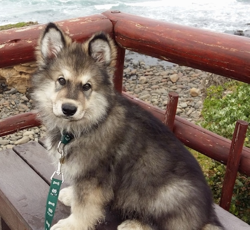 Alaskan Shepherd puppy sitting on a bench in front of a body of water next to a red railing