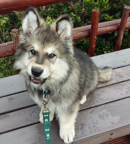 Alaskan Shepherd puppy sitting on a bench with a green leash on