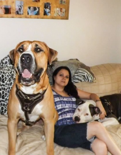 A tan with white American Bandogge Mastiff, that is wearing a leather harness, is sitting on couch with a person and a another dog