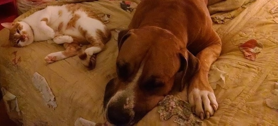 Topdown view of a tan American Bandogge Mastiff that is laying down on a bed next to a cat