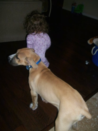 The back left side of a tan with white American Bandogge Mastiff that is walking across a carpet and it is being led by a child