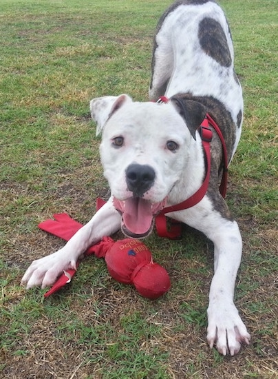 A white with brindle American Bull Staffy is play bowing with a red toy under its paw and its mouth is open.