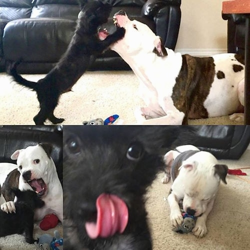 A compilation of images of an American Bull Staffy that is playing with a puppy.