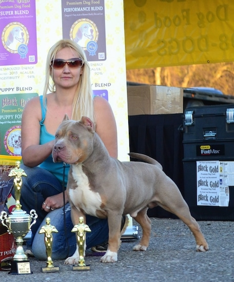 The front left side of a gray with white American Bully that is standing next to 3 trophies and a blonde-haired woman.