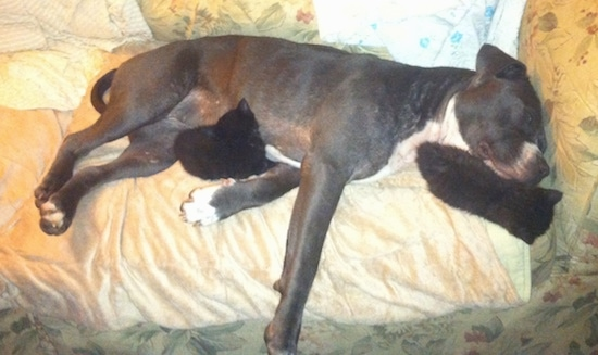 Topdown view of the right side of a black with white American Pit Bull Terrier that is sleeping on a couch with two kittens around it.