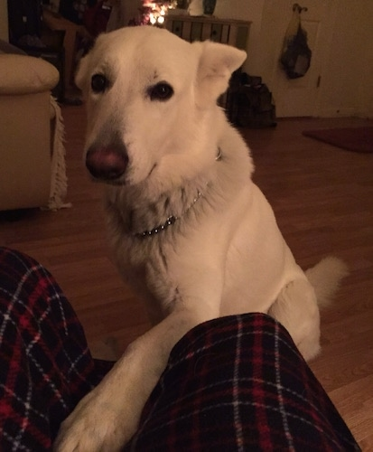 Bailey the American White Shepherd sitting in front of a recliner with its left paw up on the recliner in between a persons legs