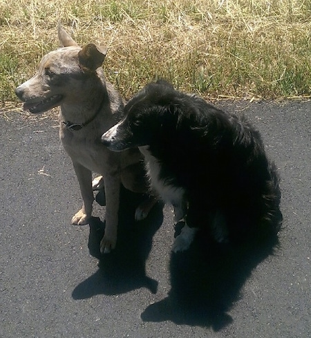 An Aussie Siberian dog is sitting next to a black with white Border Collie on a blacktop surface