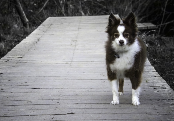 A black and white photo of an Austi-Pap that is standing on a wooden bridge.