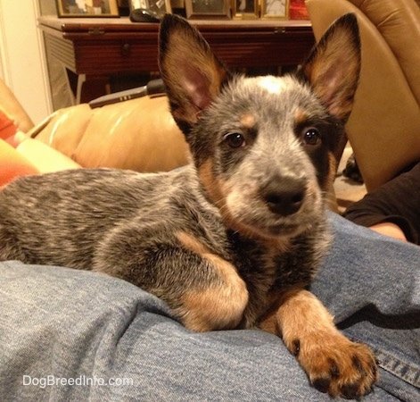 Close up - The right side of an Australian Cattle Dog puppy that os laying on a persons legs and it is looking forward.