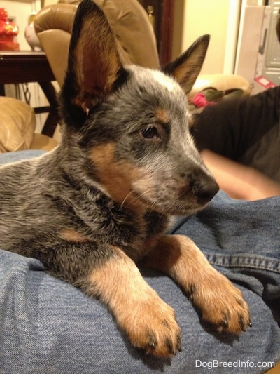 Close up - The right side of an Australian Cattle Dog puppy that has perked up ears, it is laying on a persons legs and it is looking to the right.