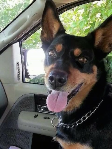 A black with brown Australian Kelpie is sitting in the passenger seat of a car with its mouth open and tongue out. It is looking forward.