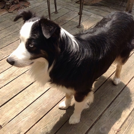 The front left side of a black and white Australian Shepherd that is standing across a wooden deck and it is looking to the left.