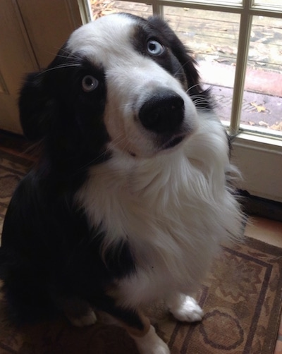 Kai the blue-eyed black and white Australian Shepherd sitting on a rug in front of a door