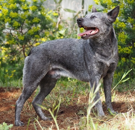 The right side of a black with gray and white Australian Stumpy Tail Cattle Dog is standing outside in dirt, it is looking to the left, its mouth is open, its tongue is out and it is looking up. Its ears are slightly pinned back.