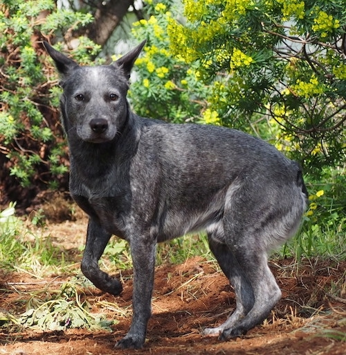 The left side of a black with gray and white Australian Stumpy Tail Cattle Dog is standing on a dirt path, it is looking forward and its front left paw is in the air.