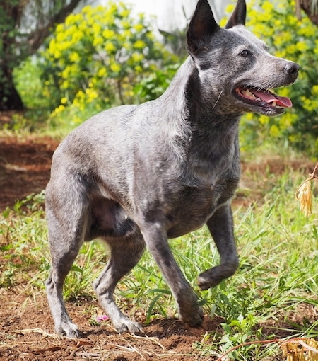 The front left side of a black with gray and white Australian Stumpy Tail Cattle Dog is standing on a dirt path and it is looking to the right. Its mouth is open and its tongue is sticking out.
