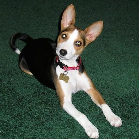 Keiki the Basenji puppy laying on a hunter green carpet with its head tilted to the left