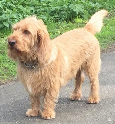 The front left side of a tan Basset Fauve de Bretagne that is standing across a blacktop driveway.