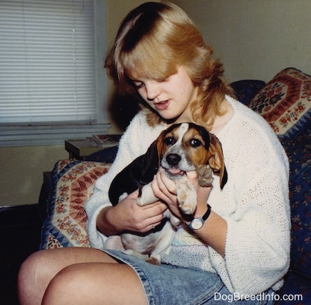 A person is holding a white, black and tan Beagle in their lap as the dog chews on the girl's thumb.