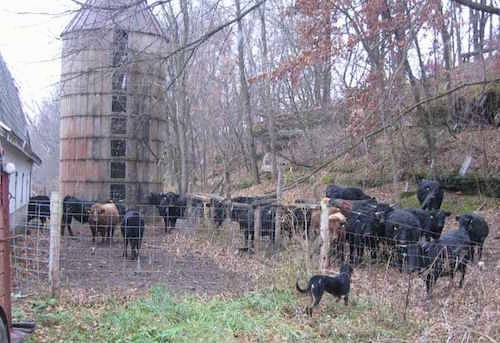 Abbee the Beauceron standing in front of a herd of cattle who are behind a fence next to a barn