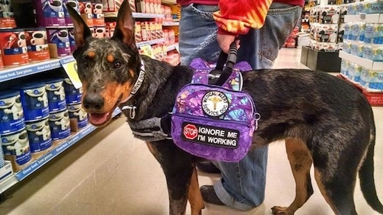 Camo the Beauceron wearing a backpack harnessthat lets people know its a service dog with its mouth open