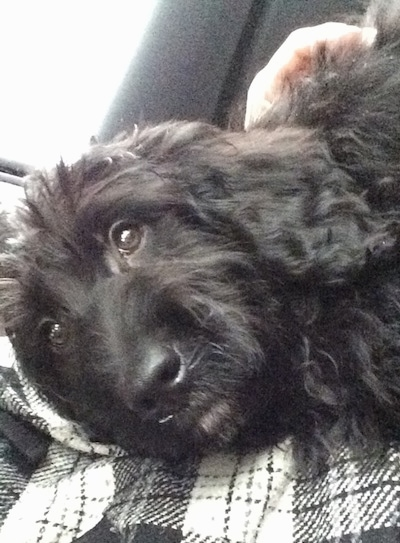 Shadow the Bernedoodle as a puppy sitting on a persons lap in a car