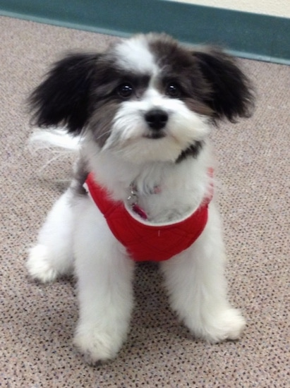 A black and white Bichon-A-Ranian is wearing a red harness, it is standing on a carpet and it is looking forward.