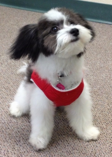 The front right side of a black and white Bichon-A-Ranian that is wearing a red harness, it is standing across a carpet, it is looking up and to the right