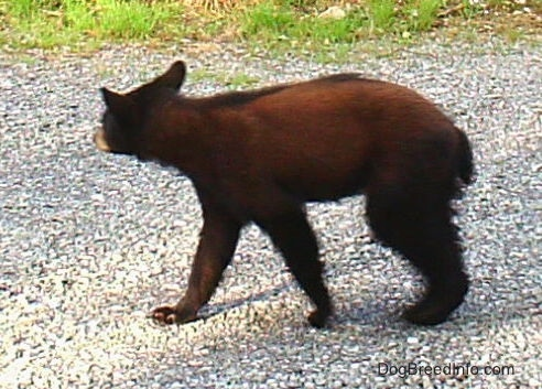 Close Up - The left side of a young Black Bear cub that is walking across a gravel surface.