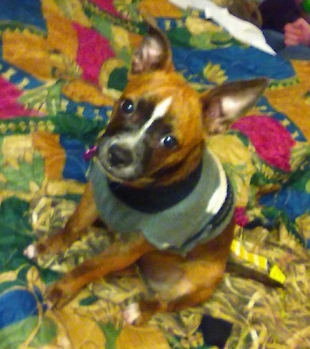 Topdown view of the front left side of a brown with white and black Boston Huahua that is sitting on a colorful blanket, it is wearing a sweater and it is looking up.