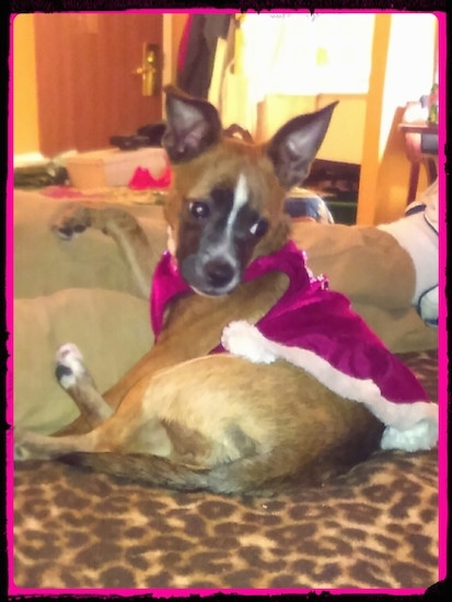 Lucy Loo the Boston Huahua wearing a velvet shirt laying on a blanket looking back