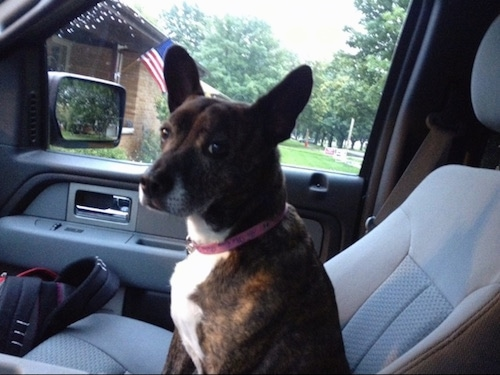 The left side of a brown brindle with white Bo-Dach that is sitting in the passenger seat of a car and it is looking forward.