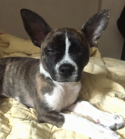 Keller the Boston Huahua laying on a bed. Its eyes are squinted