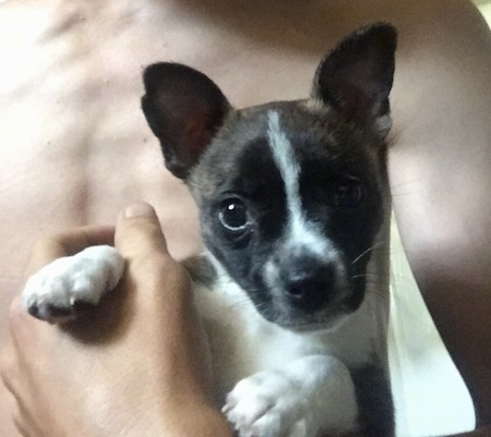 Close Up - Keller the Boston Huahua as a puppy in a shirtless persons arm
