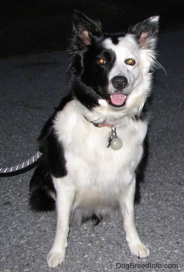 Zoey the Border Collie sitting on a blacktop surface with its mouth open